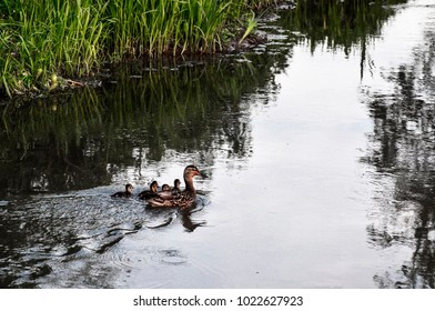 an adult duck swims with its ducklings across the lake
