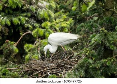 Adult Egret and Little Egret