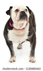 Adult Elderly English Bulldog