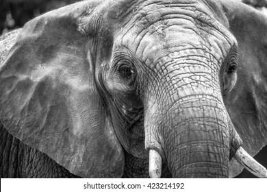 Adult elephant head in black and white