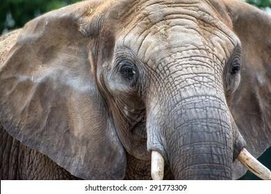 Adult elephant head close up