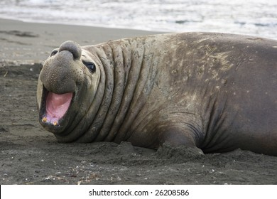 Adult Elephant Seal in St. Andrews Bay, South Georgia, Antarctica