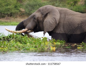 An adult elephant wades in the Shire river, Majete game reserve, Malawi  in search of lush vegetation