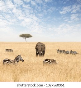 Adult elephant with zebras and lone acacia tree, in the red oat grass of the Masai Mara, Kenya.