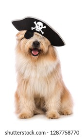 Adult elo dog as a pirate on white background