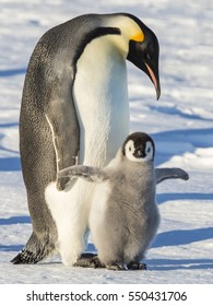Adult Emperor penguin with chick exercising wings