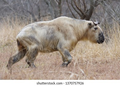Adult endangered Golden Takin (Budorcas taxicolor) in the mountains of Tangjiahe National Park, Sichuan Province, China.