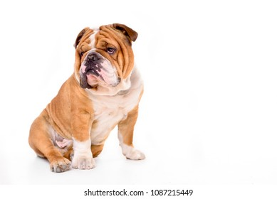 Adult English bulldog isolated on white background