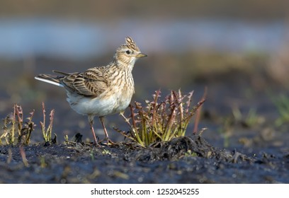 Adult Eurasian skylark stands in open field with some grass and plants in spring