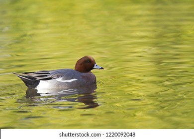 An adult Eurasian wigeon (Mareca penelope) swimming and foraging in a colourful pond. Moving water with allot of different bright green colours.