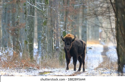 Adult European bison(Bison bonasus) bull in forest looking at camera, Bialowieza Forest, Poland, Europe