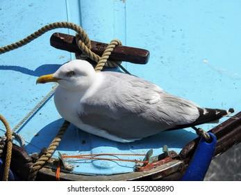 Adult European herring gull (Larus argentatus) resting on a boat in Mevagissey harbor. Cornwall, UK
