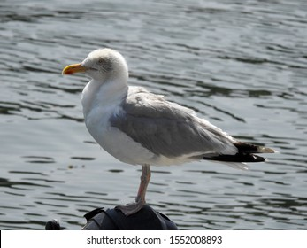 Adult European herring gull (Larus argentatus) resting on the outboard motor of a boat moored in Mevagissey harbor. Cornwall, UK