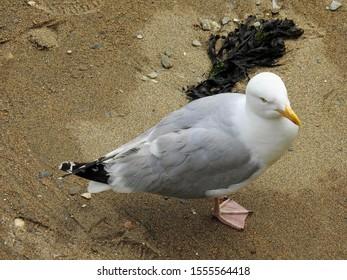 Adult European herring gull (Larus argentatus) on a small beach in in Mevagissey harbor. Cornwall, UK