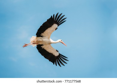 Adult European White Stork Flies In Blue Sky With Its Wings Spread Out.