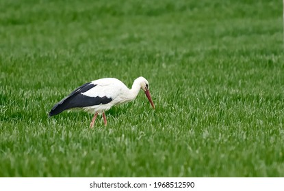 Adult European White Stork Standing In Green Summer Grass. Wild Field Bird In Sunset Time
