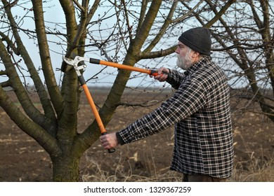 Adult farmer pruning apricot tree in orchard using loppers