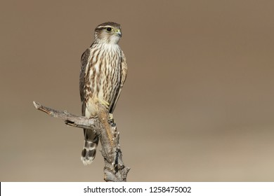 Adult female American Merlin (Falco columbarius columbarius) wintering in Riverside County, California. Perched on a dead branch against a brown background.