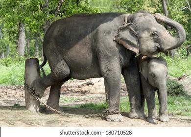 Adult female Asian  elephant (Elephas maximus) with her calf in the elephant breeding center, Sauraha, Nepal