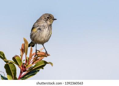 An adult female Audubon's Warbler perching on a bush