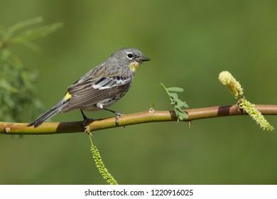 Adult female Audubon's Warbler (Setophaga auduboni) Riverside County, California, USA.April 2017