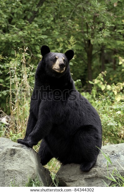 Adult female black bear (Ursus Amricanus) strikes a comic pose while sitting on two boulders in the forest.