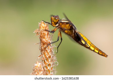 Adult female Broad-bodied Chaser (Libellula depressa) perched on a sprout of Pinaceae sp. at the Kampina in the Netherlands.