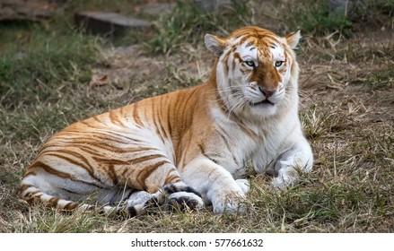 An adult female butterscotch Bengal tiger (Panthera tigris tigris).