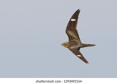 Adult female Common Nighthawk (Chordeiles minor) in flight during daytime over Deschutes County, Oregon, USA.