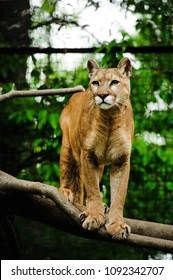Adult Female Cougar (Puma concolor) Stands in Branches