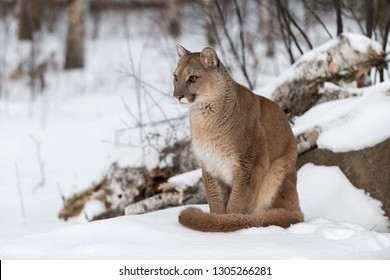 Adult Female Cougar (Puma concolor) Sits in Snow Staring Left Winter - captive animal