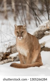 Adult Female Cougar (Puma concolor) Sits in Snow With Tip of Tongue Out Winter - captive animal