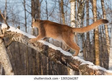 Adult Female Cougar (Puma concolor) Runs Up Tree Winter - captive animal