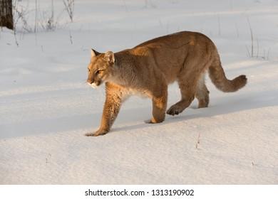 Adult Female Cougar (Puma concolor) Walks Left Through Snow Winter - captive animal
