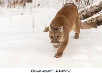 Adult Female Cougar (Puma concolor) Stalks Foward Winter - captive animal