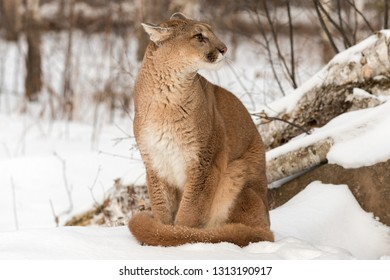 Adult Female Cougar (Puma concolor) Looks Right Ears Back Winter - captive animal