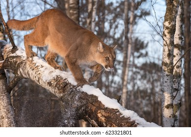 Adult Female Cougar (Puma concolor) Knocks Snow Off Branch - captive animal