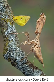 An adult female dead leaf mantis has stumbled across a butterfly.
