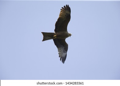 An adult female European black kite (Milvus migrans) soaring and calling in the sky.
