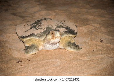 Adult female flatback sea turtle crawling towards the sea in its natural habitat at night at Bare Sand Island off the top end in the Northern Territory of Australia