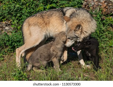 An adult female gray wolf checks her offspring, a juvenile gray wolf and a juvenile black wolf.