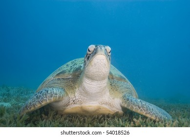Adult female Green turtle (chelonia mydas) on seagrass, front view. Naama bay, Sharm el Sheikh, Red Sea, Egypt.