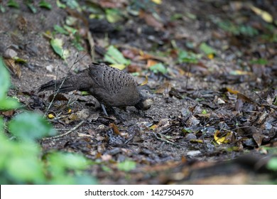 Adult female Grey Peacock-pheasant (Polyplectron bicalcaratum) and babies, angle view, side shot, forage on the ground in tropical montane forest, Chong Yen, Mae Wong National Park, north of Thailand.