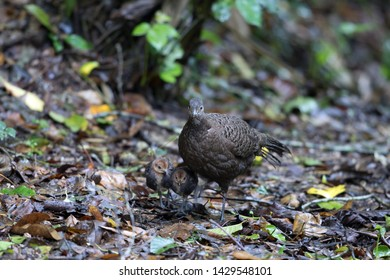 Adult female Grey Peacock-pheasant (Polyplectron bicalcaratum) and babies, angle view, front shot, forage on the ground in tropical montane forest, Chong Yen, Mae Wong National Park, north of Thailand