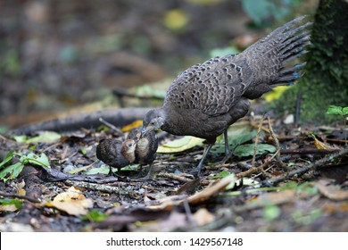 Adult female Grey Peacock-pheasant (Polyplectron bicalcaratum) and little babies, angle view, front shot, feeding baby in tropical montane forest, Chong Yen, Mae Wong National Park, north of Thailand.