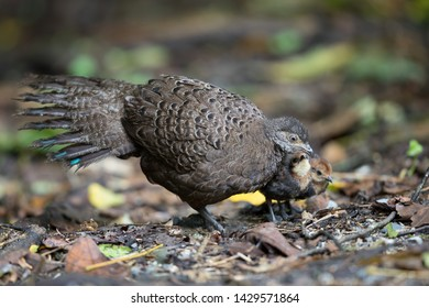 Adult female Grey Peacock-pheasant (Polyplectron bicalcaratum) and little babies, angle view, front shot, foraging food in tropical montane forest, Chong Yen, Mae Wong National Park, north of Thailand