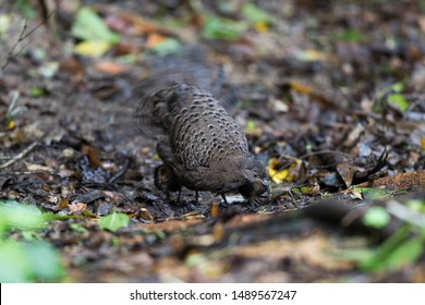 Adult female Grey Peacock-pheasant (Polyplectron bicalcaratum) and little babies, angle view, side hot, feeding baby in tropical montane forest, Chong Yen, Mae Wong National Park, north of Thailand.