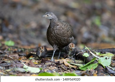 Adult female Grey Peacock-pheasant (Polyplectron bicalcaratum) and little babies, angle view, front hot, feeding babies in tropical montane forest, Chong Yen, Mae Wong National Park, north of Thailand