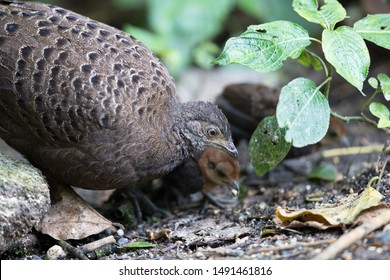 Adult female Grey Peacock-pheasant (Polyplectron bicalcaratum) and little babies, angle view, head shot, feeding baby in tropical montane forest, Chong Yen, Mae Wong National Park, north of Thailand.