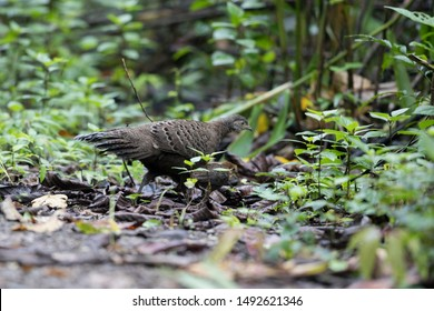 Adult female Grey Peacock-pheasant (Polyplectron bicalcaratum) and little babies, angle view, side shot, feeding baby in tropical montane forest, Chong Yen, Mae Wong National Park, north of Thailand.